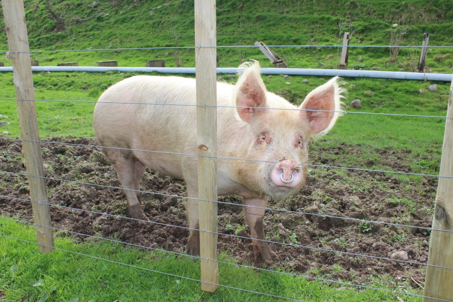 Pig, Farm