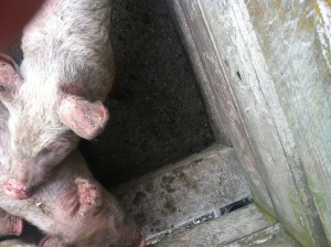 Pigs in the saleyards at Rongatoa, check out the sunburn on those ears.