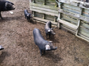 True free range Large Black (Devon) pigs in Wanganui