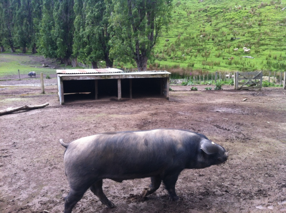 This is Jack the Large Black (Devon) Boar, the big Daddy at over 300kg.