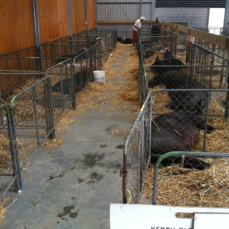 The pigs lay on concrete in pens too small and just a small amount of straw. Both food and water was absent.