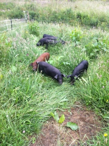 Pigs like grass, they have chewing the grass like crazy since arriving. It also doubles as a play area and bed.