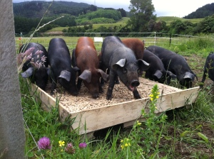The pigs 'tucker' is a multifeed from Sharpes, basically a nut shaped pellet made of grains, legumes and supplements. I feed them on a home made 'feed station' made from two pallets.