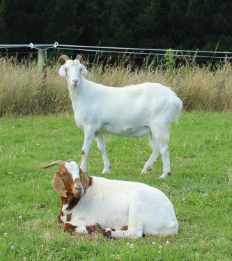 Rest in Peace white goat, your friends will miss you.