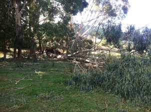 This giant gum tree came down in the neighbours paddock.