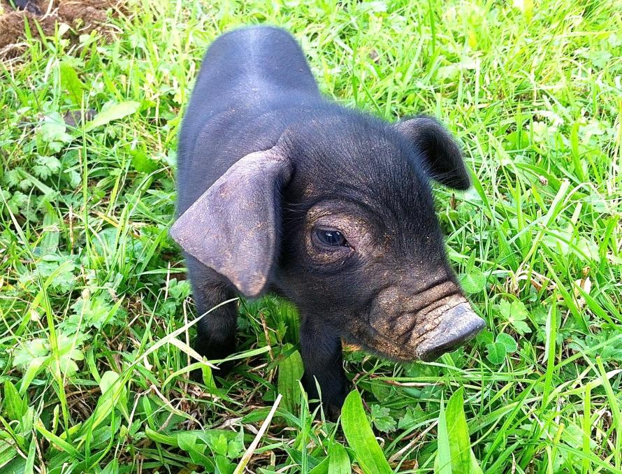 piglet, pig, farmer
