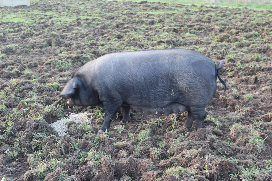 Paula shortly after farrowing in May