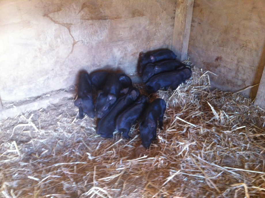 Ruth's nine little piglets, just hours after being born.