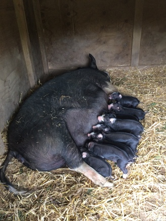 Clarissa just hours after farrowing, all piglets happily suckling