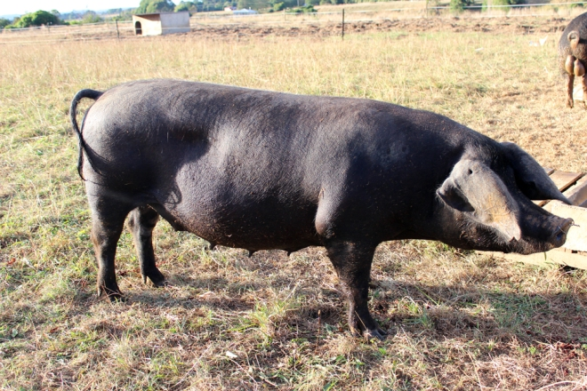 Martha, the Large Black  companion pig.